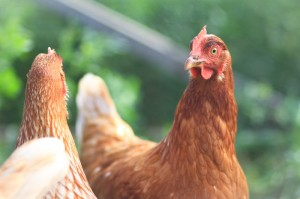 two conversant hens on the farm